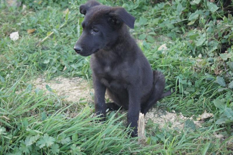 MINNIE croisée labrador noire femelle 2 mois 1/2 association GALIA (85) Minnie10