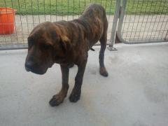 SOS pour 2 chiens squelettiques en fourriere association GALIA (85) Sque1011