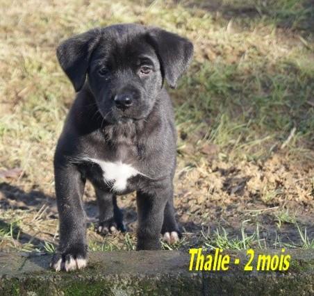 THALIE chiot labrador 1 mois a resrver association GALIA (85) Thalie16