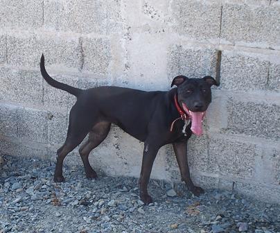 TINA  x labrador 1 an au refuge de l'association GALIA (85) Tina_p10