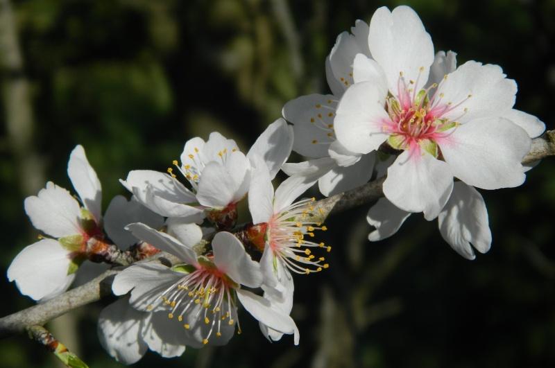 Amandier en fleurs Balade38