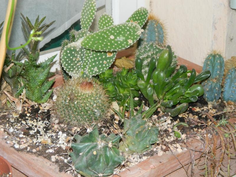 sempervivum Cactus14