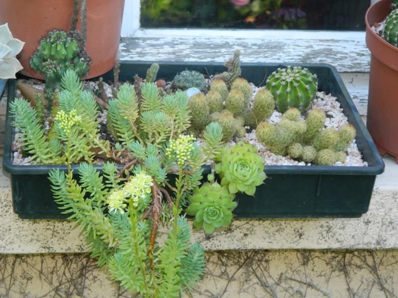 sempervivum Cactus15