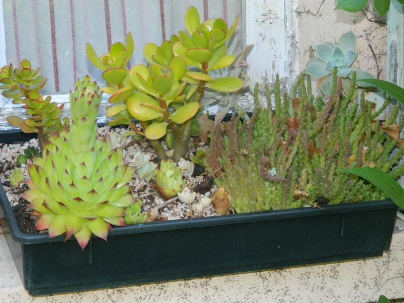 sempervivum Cactus20