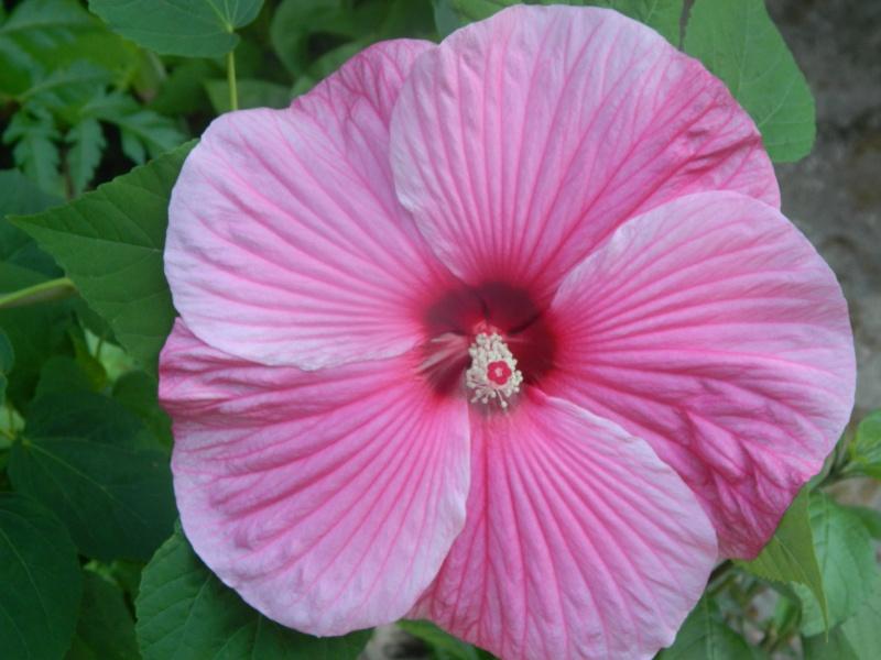 hibiscus a fleur géante:Hibiscus moscheutos cv disco - Page 10 Cameli16