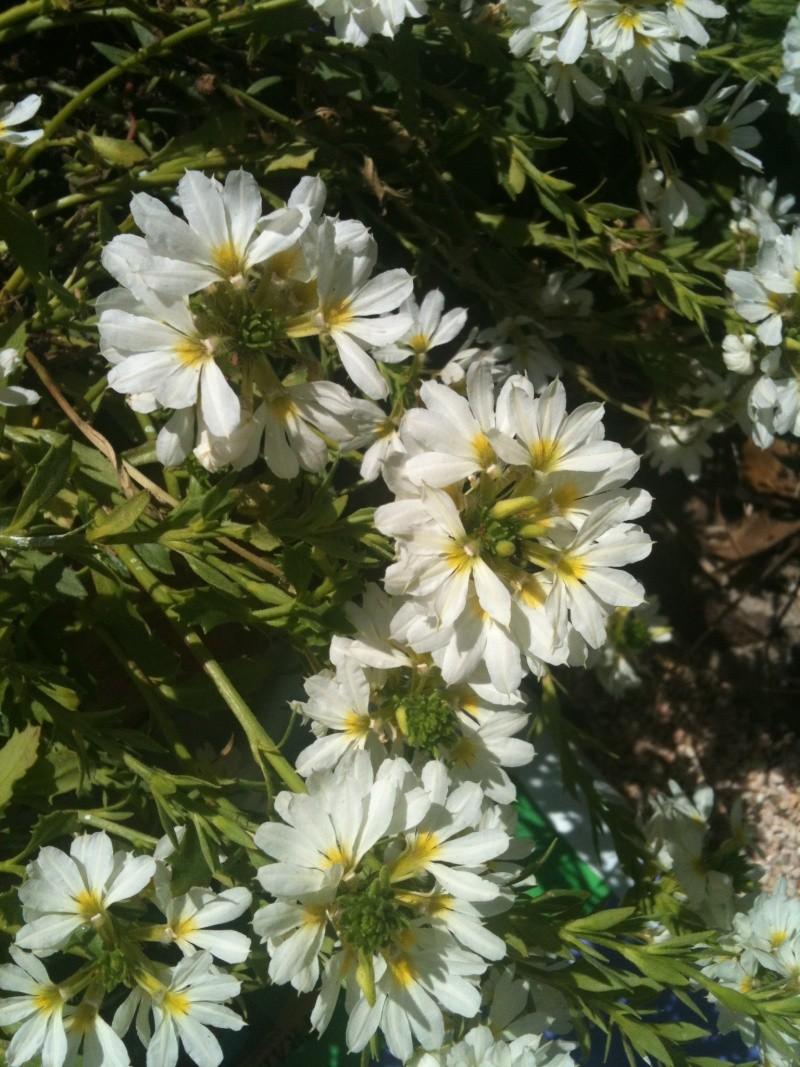 Drôle de fleur!! Scaevola aemula  Chevre16