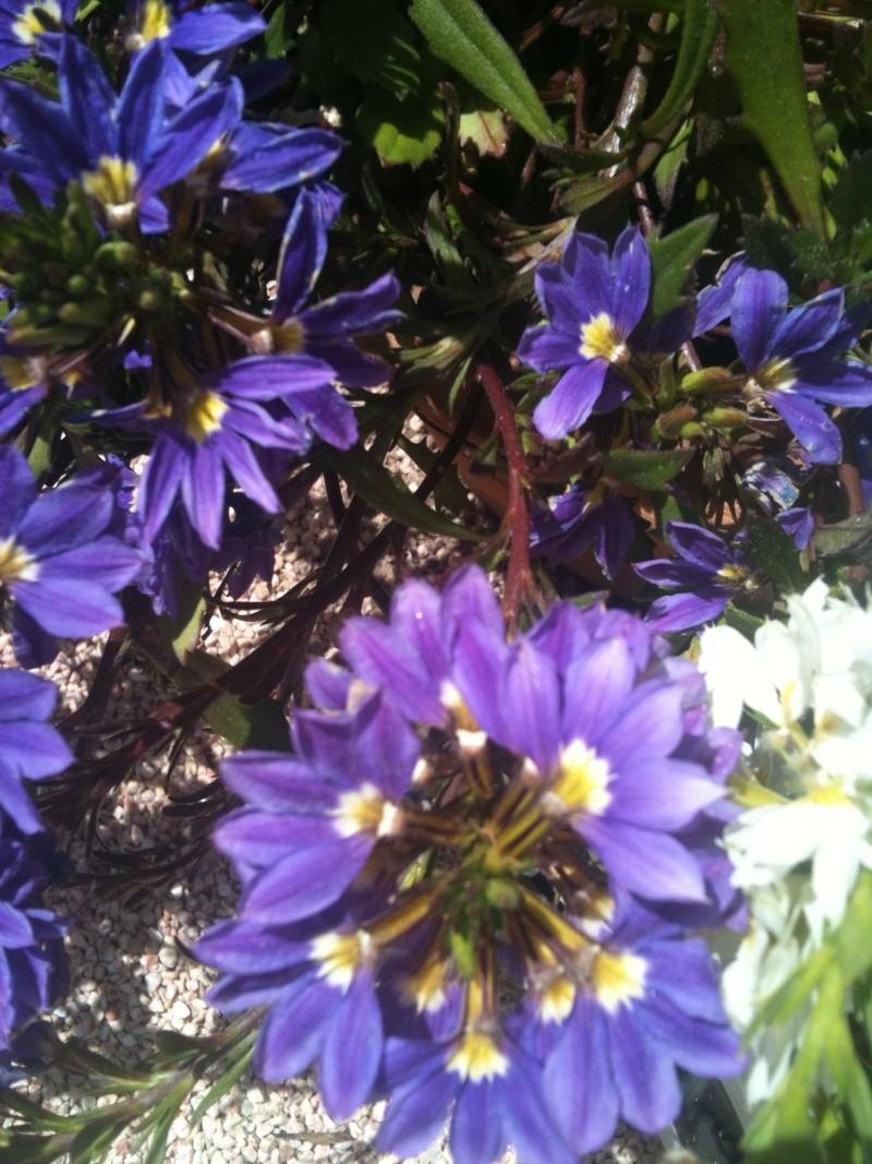 Drôle de fleur!! Scaevola aemula  Chevre17