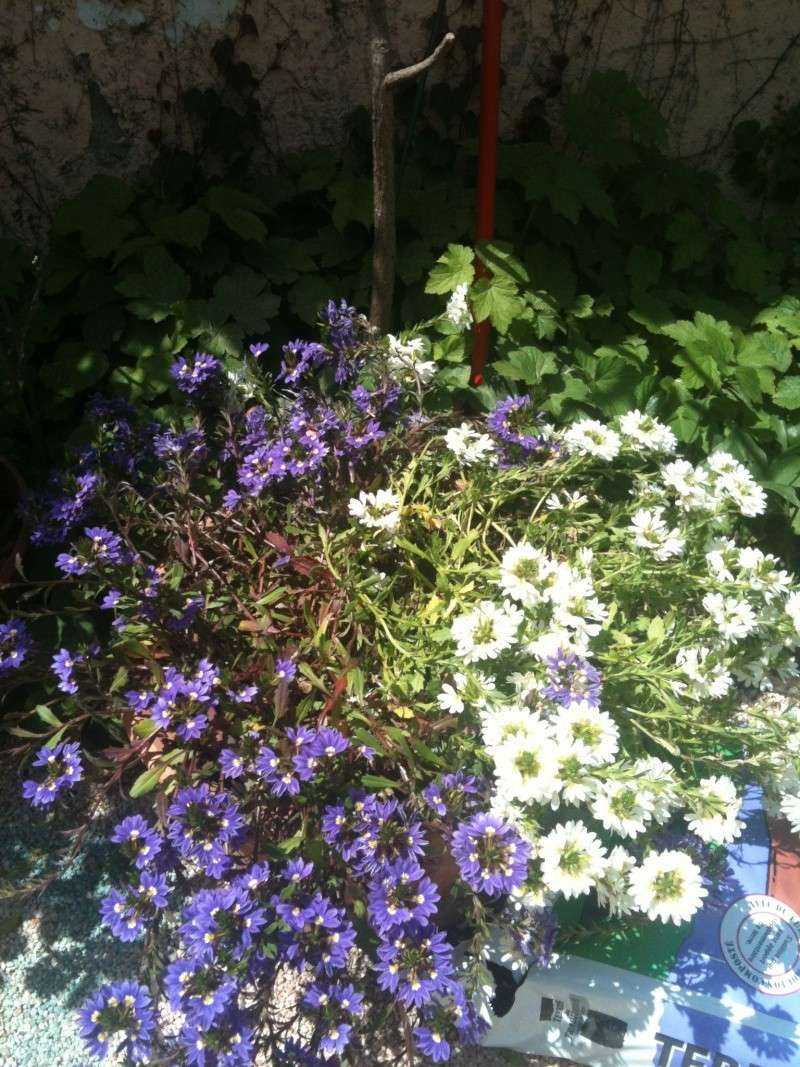 Drôle de fleur!! Scaevola aemula  Chevre18