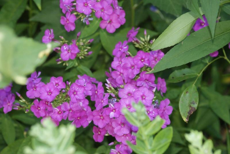 Phlox vivace, Phlox paniculata - Page 4 Dalhia17