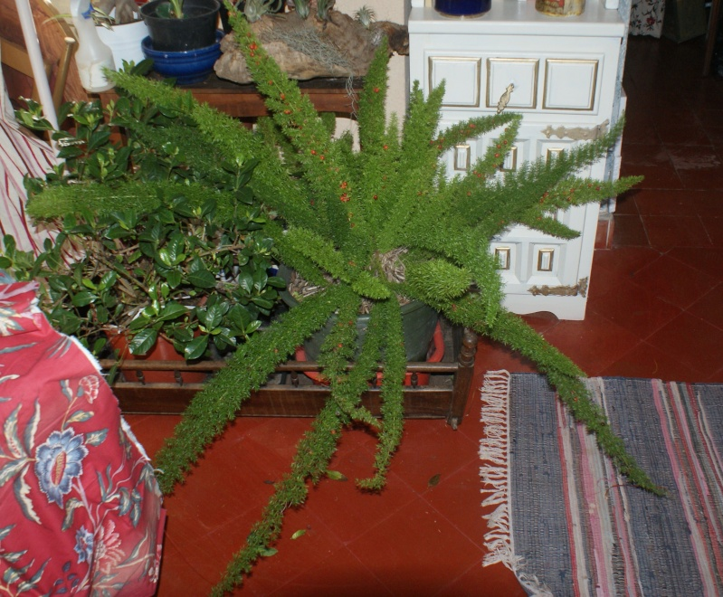 cadeau Asparagus meyEri Doudou11