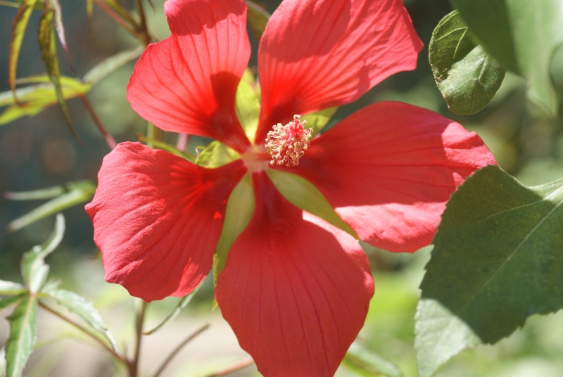 Hibiscus coccineus - Page 3 Fleurs15