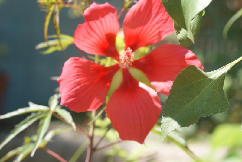 Hibiscus coccineus - Page 3 Fleurs16