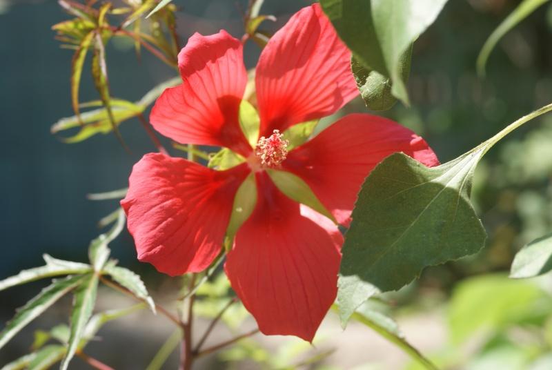 Hibiscus coccineus - Page 3 Fleurs17