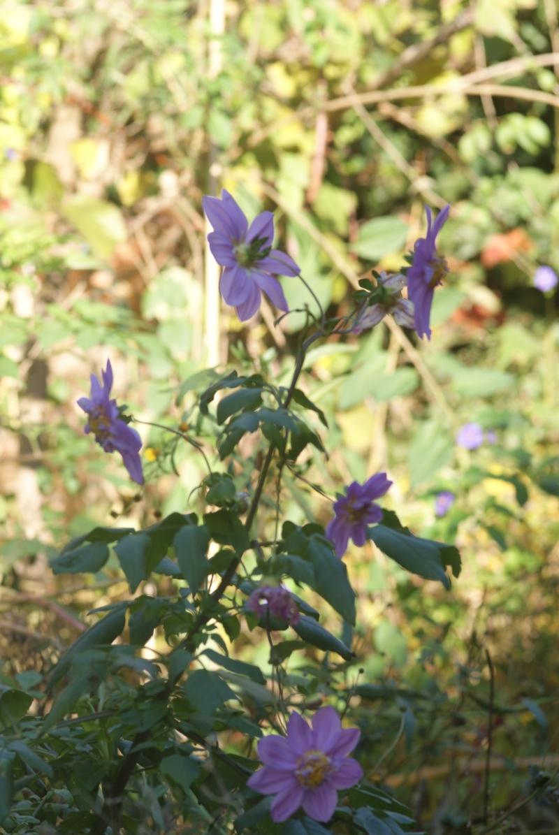 Dahlia imperialis ou Dahlia en arbre - Page 5 Fleurs29