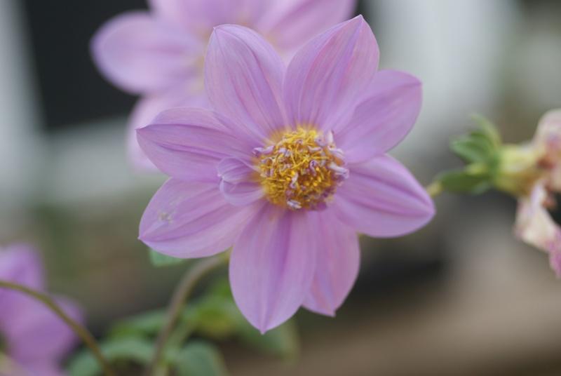 Dahlia imperialis ou Dahlia en arbre - Page 5 Fleurs32