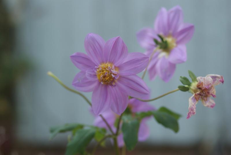 Dahlia imperialis ou Dahlia en arbre - Page 5 Fleurs33
