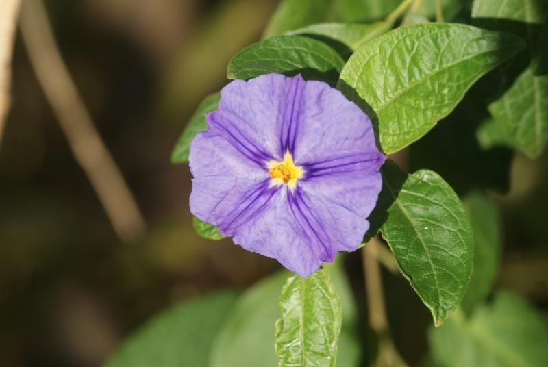 Solanum rantonetti - Page 3 Fleurs34