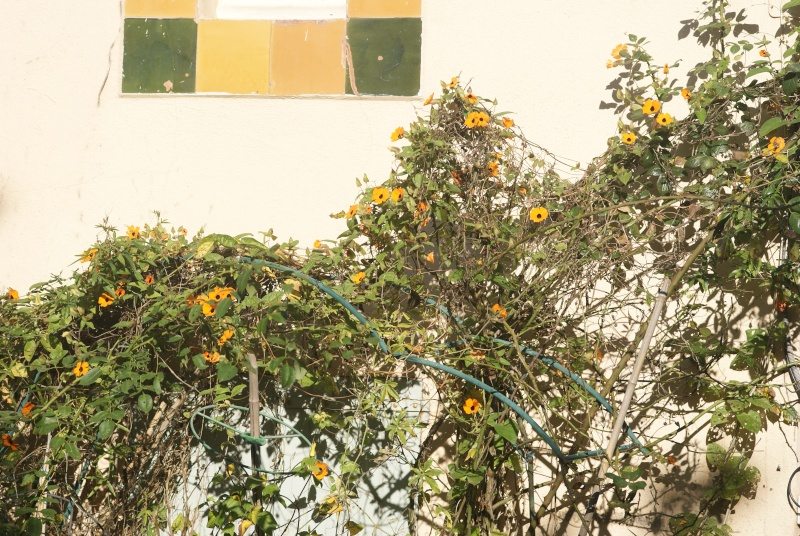 Thumbergia Fleurs36