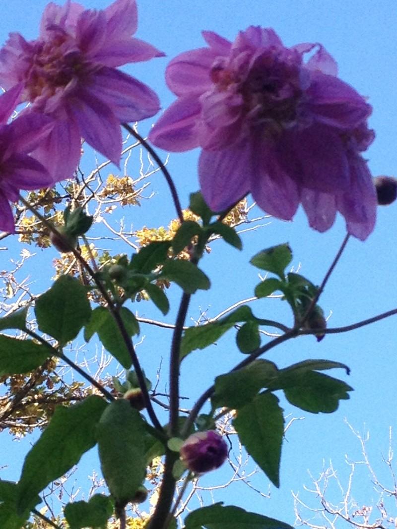 Dahlia imperialis ou Dahlia en arbre - Page 9 Fuveau16
