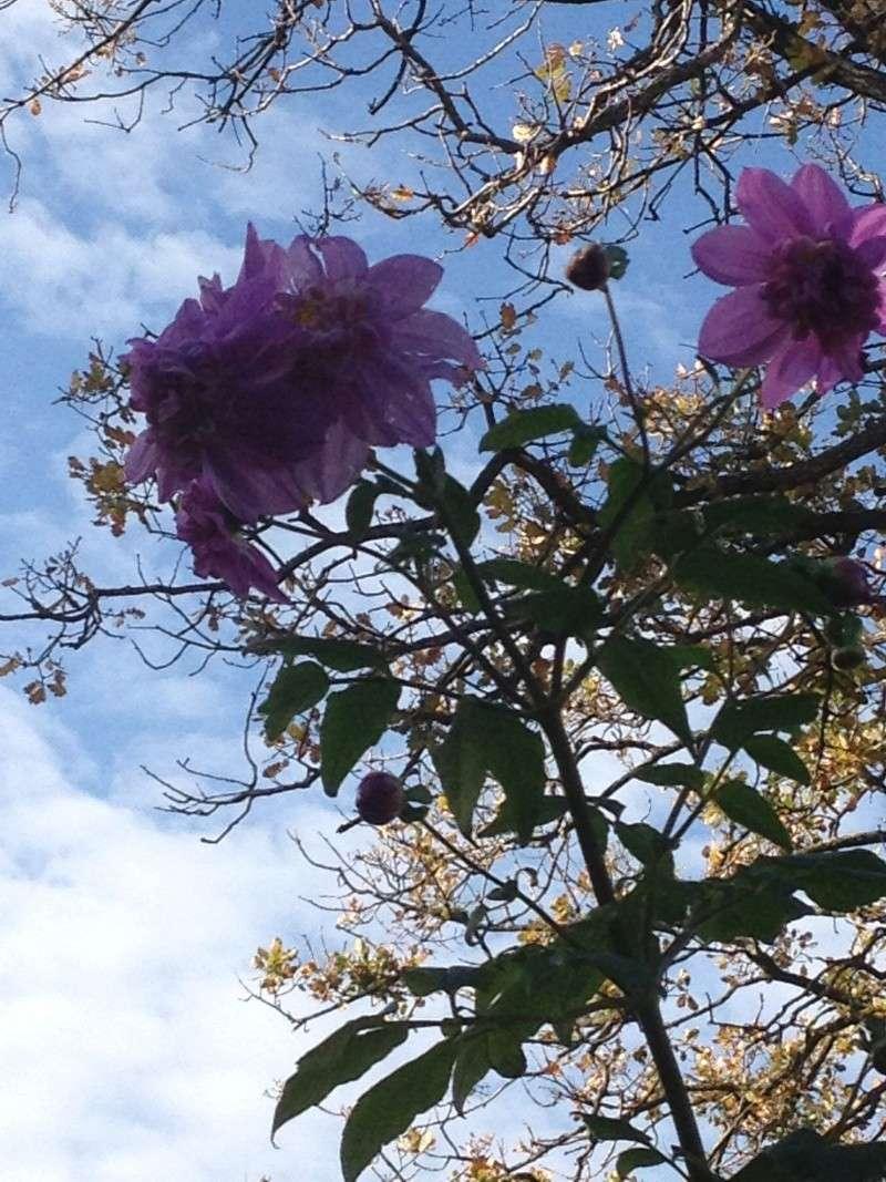 Dahlia imperialis ou Dahlia en arbre - Page 9 Fuveau17