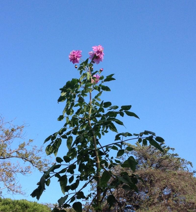 Dahlia imperialis ou Dahlia en arbre - Page 9 Fuveau18