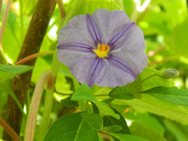 Solanum rantonetti - Page 3 Hibisc24