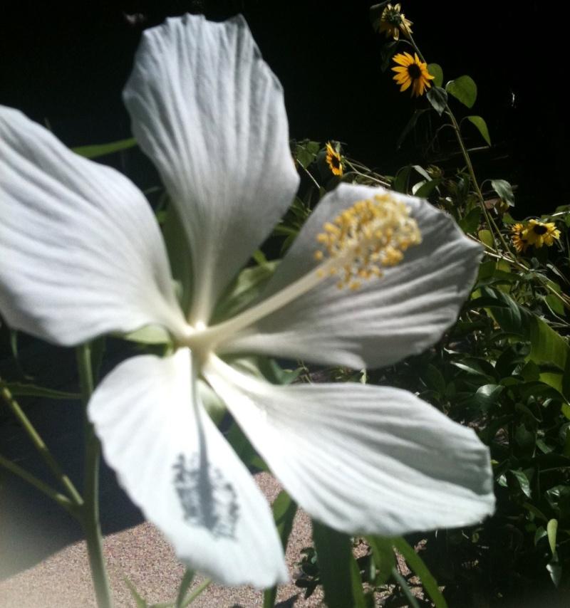 Hibiscus coccineus - Page 4 Hibys_12