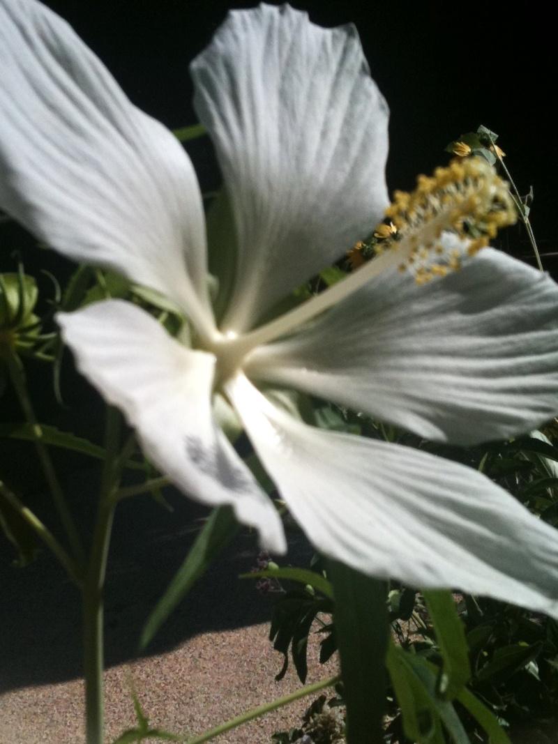 Hibiscus coccineus - Page 4 Hibys_13