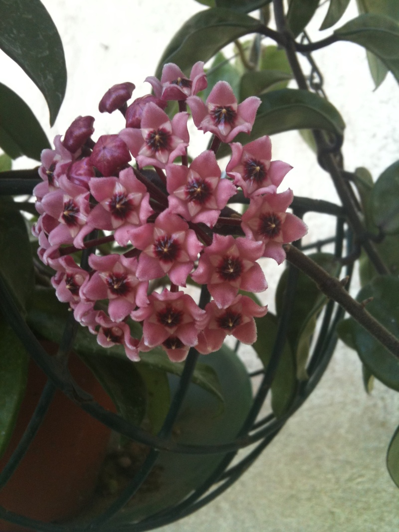 Hoya carnosa tricolore Hoya_z11