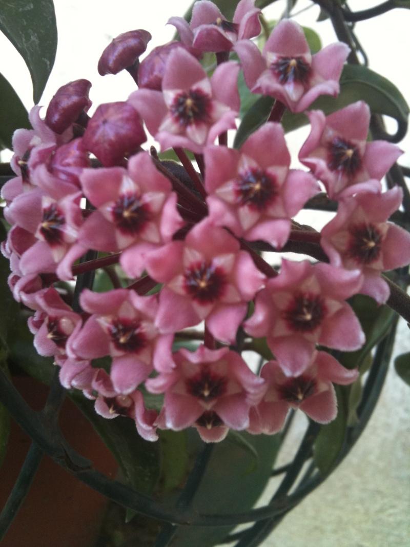 Hoya carnosa tricolore Hoya_z12