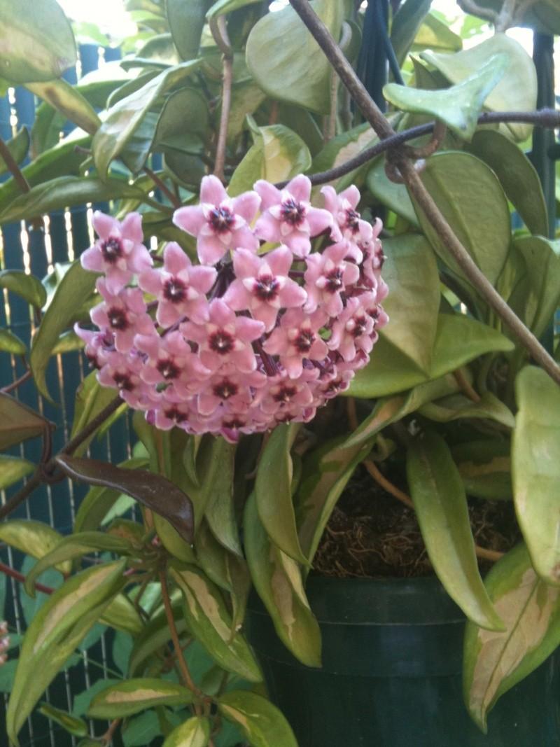 Hoya carnosa tricolore Hoya_z13