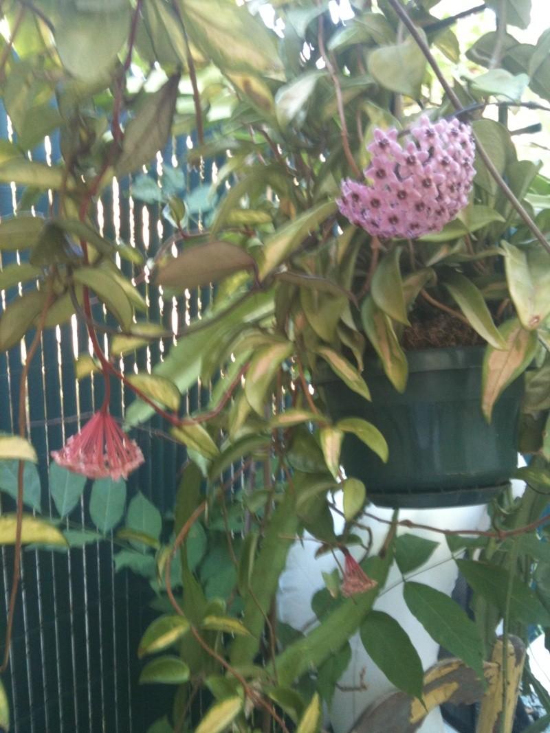 Hoya carnosa tricolore Hoya_z14