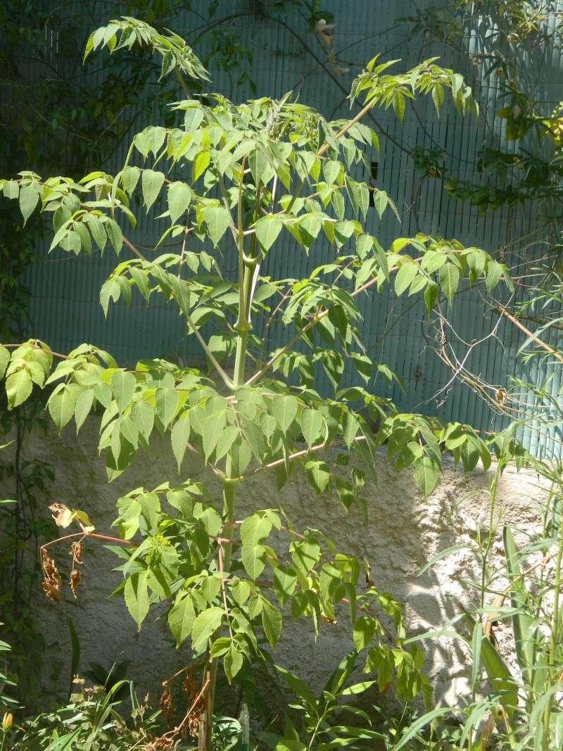 Dahlia imperialis ou Dahlia en arbre - Page 6 Imperi12
