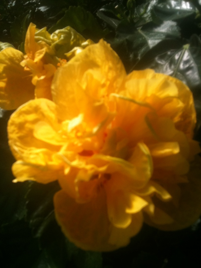 Hibiscus rosa sinensis - Page 4 Mokist15