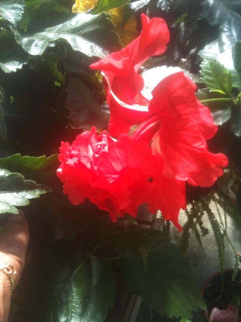 Hibiscus rosa sinensis - Page 4 Mokist16