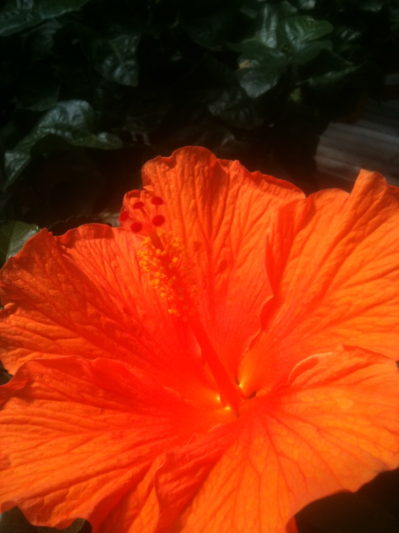Hibiscus rosa sinensis - Page 4 Mokist19