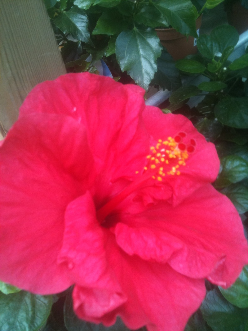 Hibiscus rosa sinensis - Page 4 Mokist20