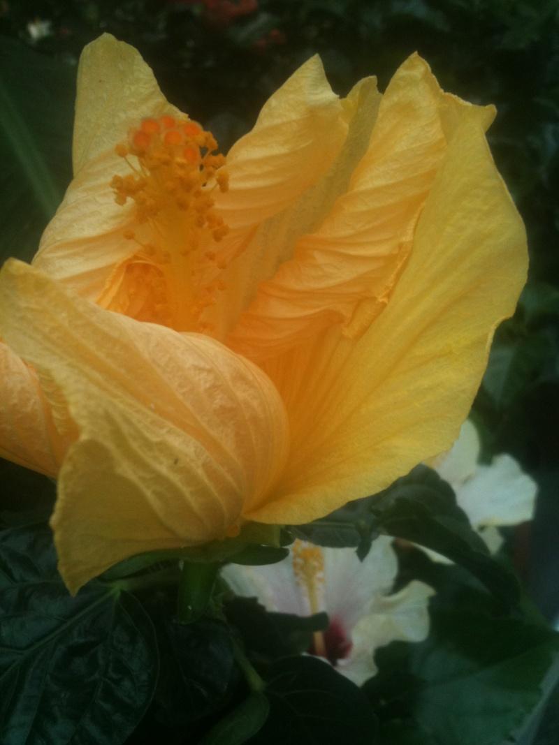 Hibiscus rosa sinensis - Page 4 Mokist22
