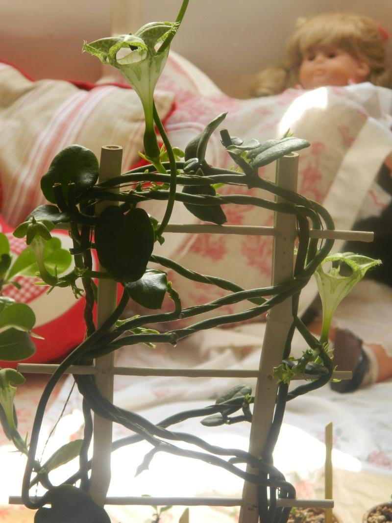Plante d'appartement peut-être hoya ? non :  ceropegia sandersonii ou plante parachute  Photos29