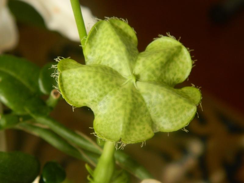 Ceropegia sandersoni ou plante parachute Photos30