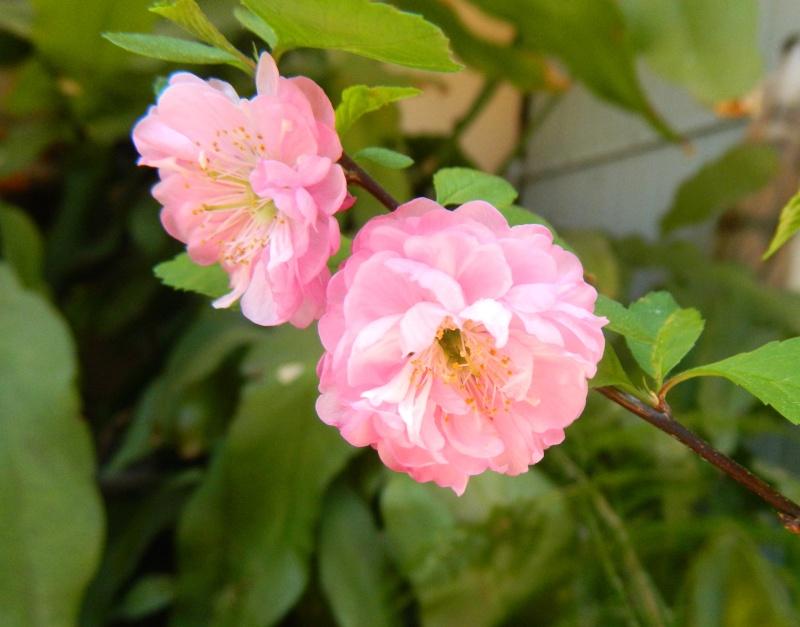 Prunus Prunus12
