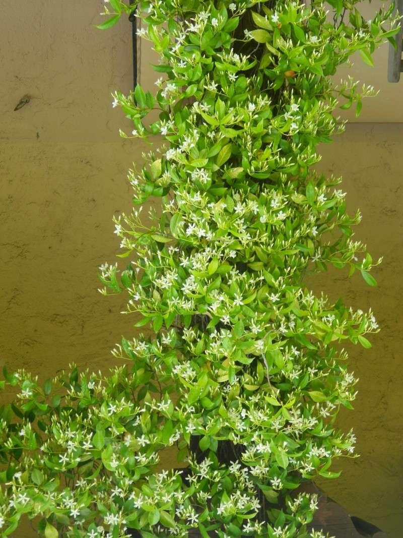 Grimpante à identifier : Trachelospermum, jasmin étoilé Soleil13