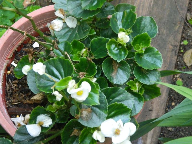 Begonias  semperforens Soleil15
