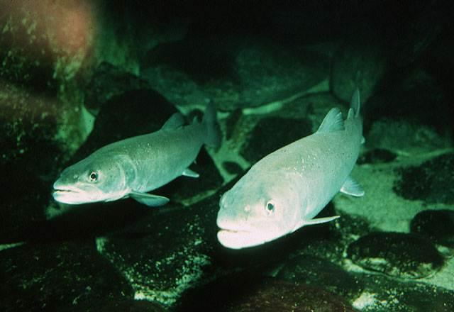 Quiz expert - pour les accros des poissons eau douce-saumâtre (600 points) - Page 6 Avosso10