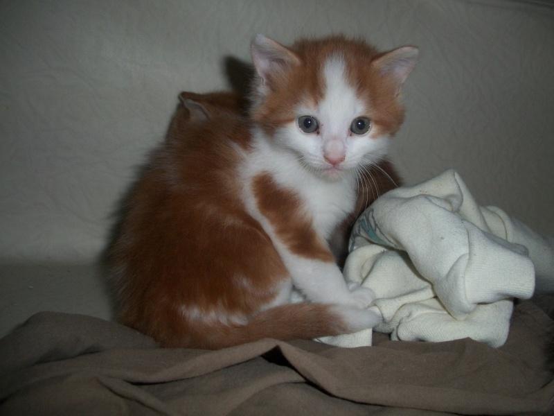 GUISMO (chaton mâle roux et blanc) 01513