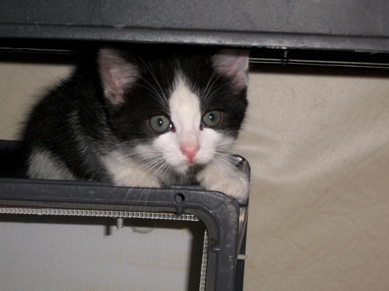 Miko (chaton mâle noir et blanc) 01811
