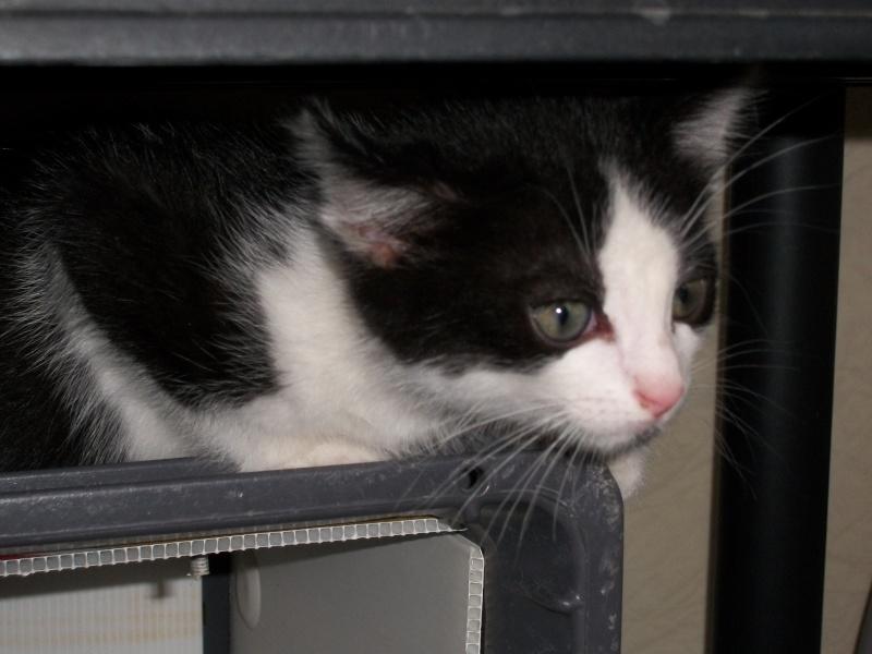 Miko (chaton mâle noir et blanc) 02111
