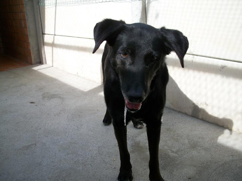 Trouvé à Ste Florine, chien X berger noir 03910