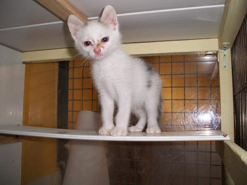 LIPTON (chaton mâle gris et blanc) 04210