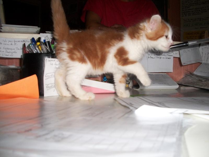 GUISMO (chaton mâle roux et blanc) 04312